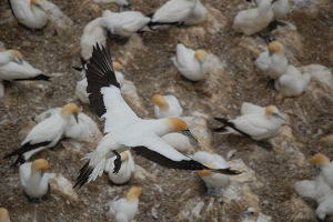 Gannet colony, Cape Kidnappers, New Zealand