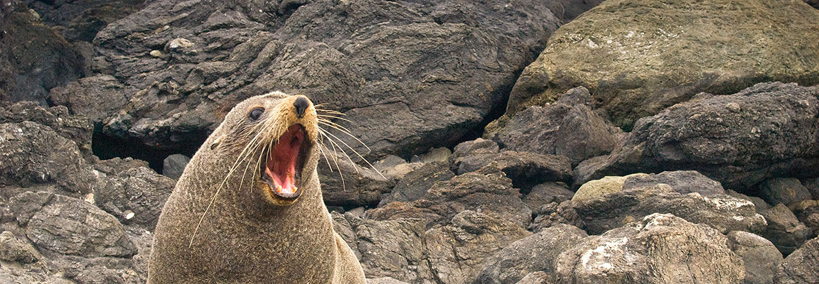 New Zealand fur seal basking on the rocks