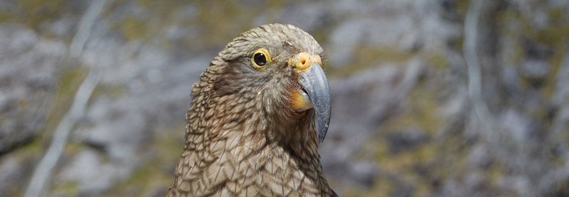 The worlds only alpine parrot, the Kea, near Milford Sound