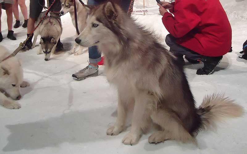 Husky zone at the Antarctic Center