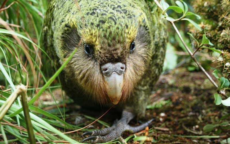 Kakapo, endangered bird