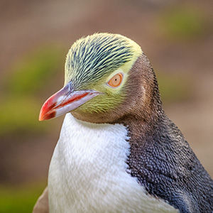 Visit Dunedin and see the rare yellow-eyed penguins
