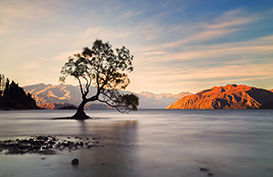 The famous Wanaka Tree immersed in Lake Wanaka