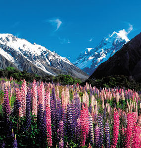 Lupins of Mount Cook National Park