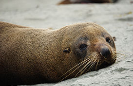 A seal rests on the beach in Kaikoura