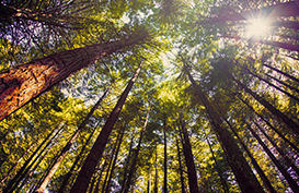 Looking up at the Redwoods forest canopy