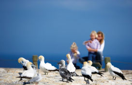 Cape Kidnappers gannet Colony, Hawkes Bay, New Zealand