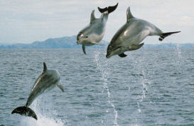 Dolphins jumping in the ocean near Bay of Islands