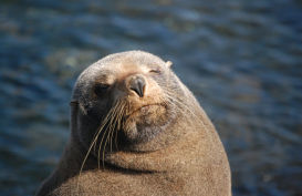 New Zealand fur seal basking in the afternoon sunshine